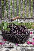 Harvest of cherries 'Kordia' in a garden