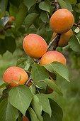 Apricot tree 'Kioto' in fruit in a garden