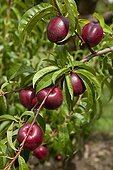 Nectarine 'Snowred' in fruit in a garden