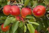 Apricot tree 'Bergeva' in fruit in a garden