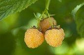 Raspberry 'Fallgold' in fruit in a garden