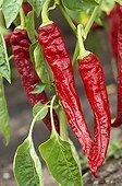 Hot peppers 'Mohawk' in a kitchen garden