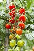 Cherry tomatoes 'Cupido' in a kitchen garden