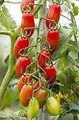 Cherry tomatoes 'Caprese' in a kitchen garden