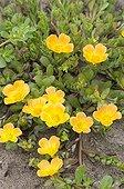 Purslanes 'Toucan Yellow' in bloom in a garden