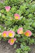 Purslanes 'Toucan Scarlet Shade' in bloom in a garden