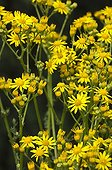 Séneçon jacobée en fleur dans un jardin