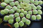 Mosaic flower ; Ludwigia sedioides, Mosaic flower, Green subject.