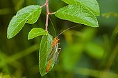 Parasitic hymenoptera on a leaf Sweden in June
