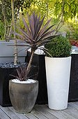 Cabbage tree 'Purpurea' and box in pot in a garden ; Designer: Pierre-Alexandre RISSER