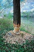 Tree eaten by a Eurasian Beaver along the Rhone France