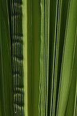 Detail of leaves of a palm tree on the island of Reunion