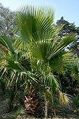 California fan palm in a garden