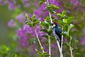 Acorn Woodpecker Savegre River Valley Los Quetzales NP  ; Talamanca Range