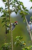 Acorn woodpecker in the PN Los Quetzales in Costa Rica  ; Talamanca Range