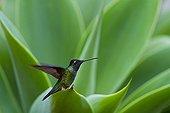 Hummingbird in the PN Los Quetzales in Costa Rica  ; Talamanca Range