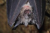 Portrait of a Greater Horseshoe Bat hibernating in a cave