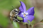 Hairy footed flower bee on a Violet France