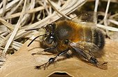 Hairy footed flower bee female sun warms France