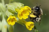 Hairy footed flower bee of a dark shape on Primrose France