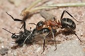 Southern wood ant carrying a fly France