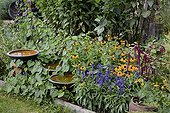 Corneflowers and mealycup sages in bloom in a garden