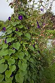 Tall morning glory and spanish flag in bloom in a garden