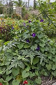 Tall morning glory in bloom and artichoke in a garden