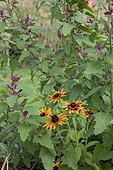 Coneflowers and goosefoot in a kitchen garden