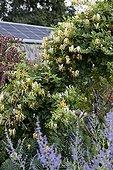 Chinese honeysuckle in bloom in a kitchen garden