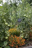 Signet marigolds in bloom and tomatoes in a garden