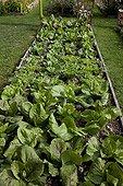 Salads in a kitchen garden
