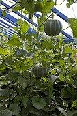 Cantalopes under a greenhouse in an organic kitchen garden
