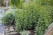 Peppermint in an organic kitchen garden