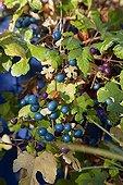 Creeper 'Elegans' in fruit a garden in autumn