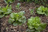 Lettuces on mulch of ramial chipped wood in a garden