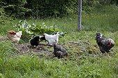 Henses pecking in a kitchen garden
