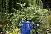 Plantes in pots on a terrace ; Japanese rush 'Ogon'<br>Creeper 'Elegans'