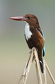 White-throated Kingfisher on a branch Rajasthan India