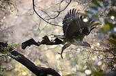 Bonelli's eagle capturing a Moluccan Masked Flying Fox