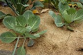 Cabbages with wood sawdust mulching in a garden
