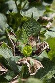 Heat damage on an hydrangea in a garden
