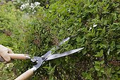 Cut of Lilac 'Josée' faded flowers in a garden
