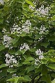 Southern catalpa in bloom in a garden