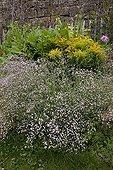 Baby breath in bloom in a garden