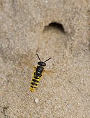 Bee Wolf infront of nest hole Denmark