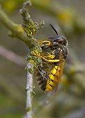 Bee Wolf with sedated Honey Bee Denmark