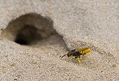 Bee Wolf digging a nest hole in the sand Denmark