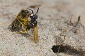 Bee Wolf  sedating Honey Bee Denmark