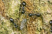Ants watching aphids they protect and milk  ; It sneaks into the folds of the barks.